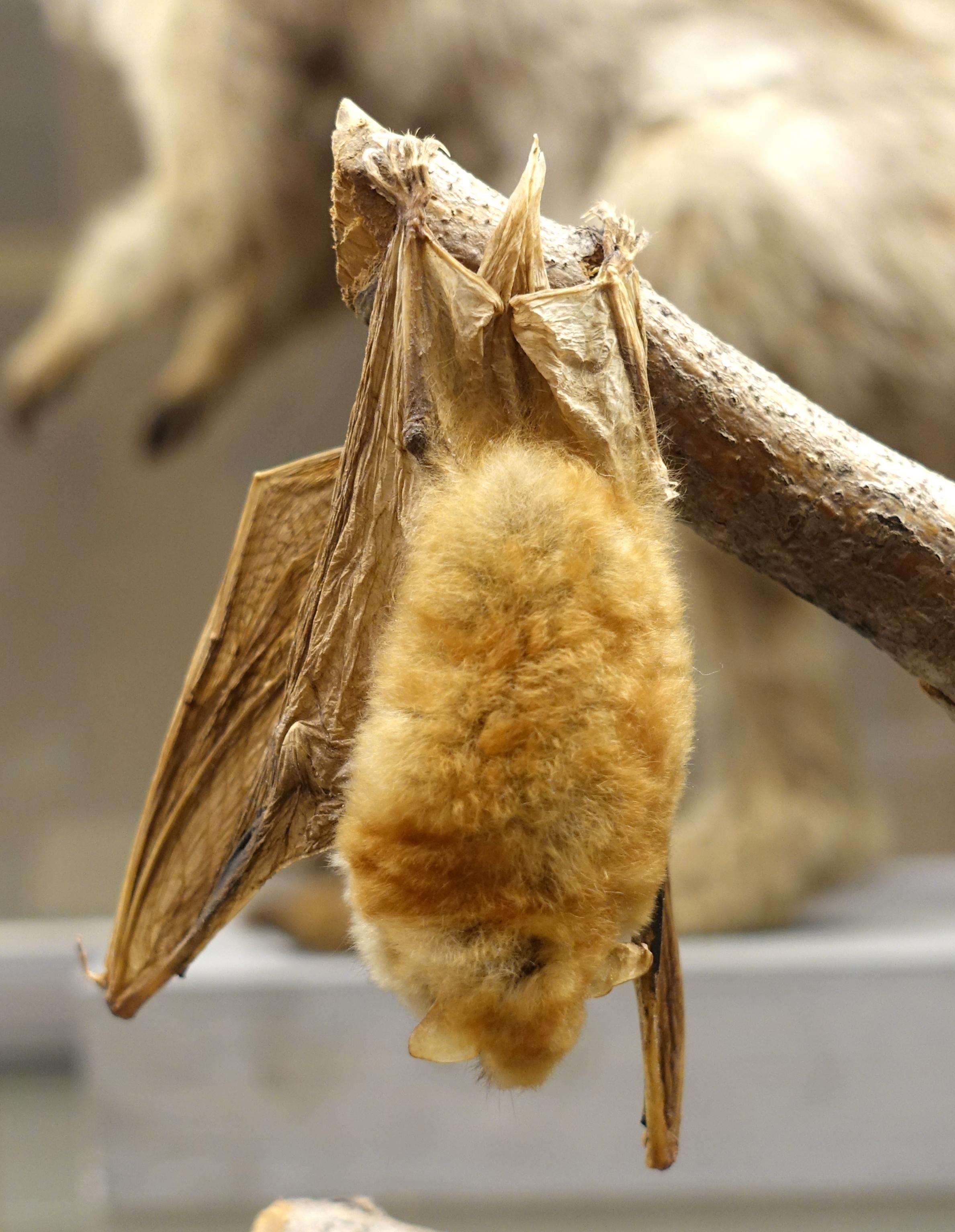 Angolan hairy bat