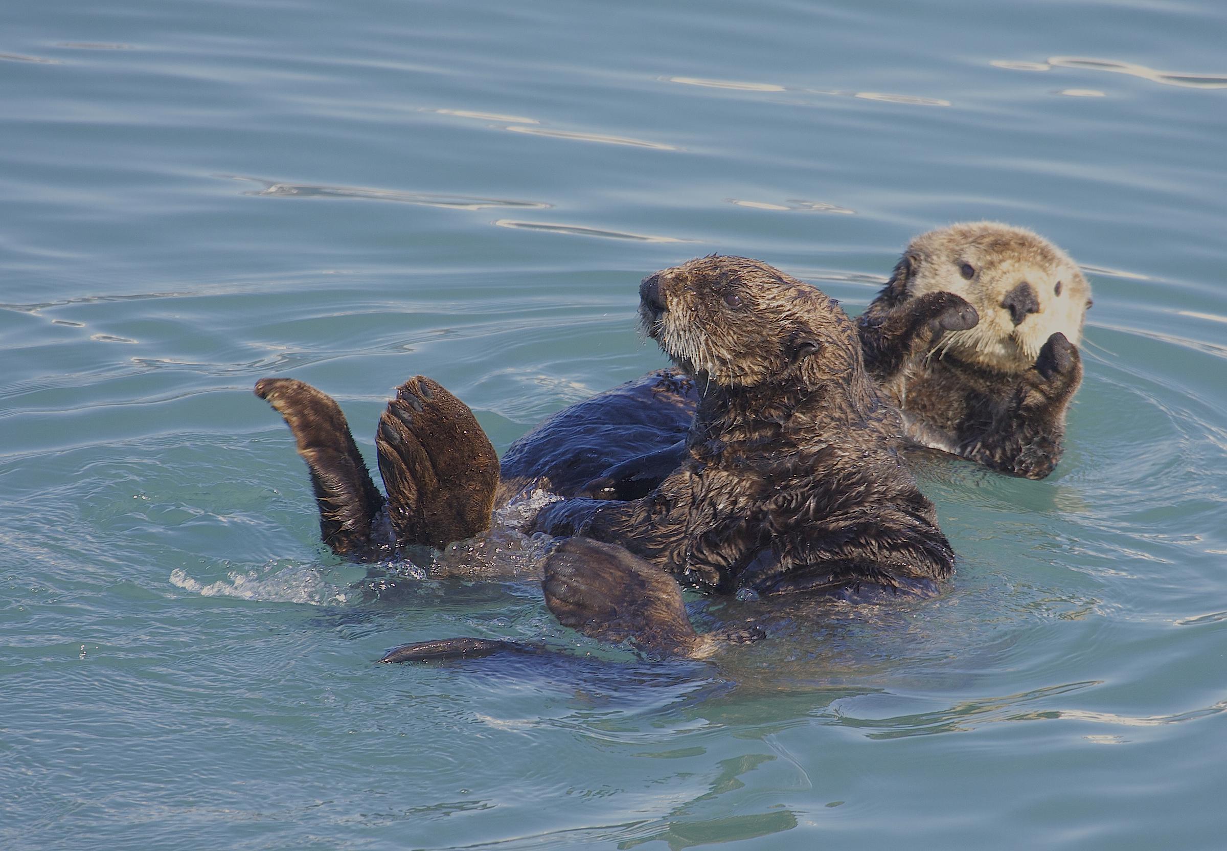 File:Northern Sea Otter (Enhydra lutris) (9674678457) jpg