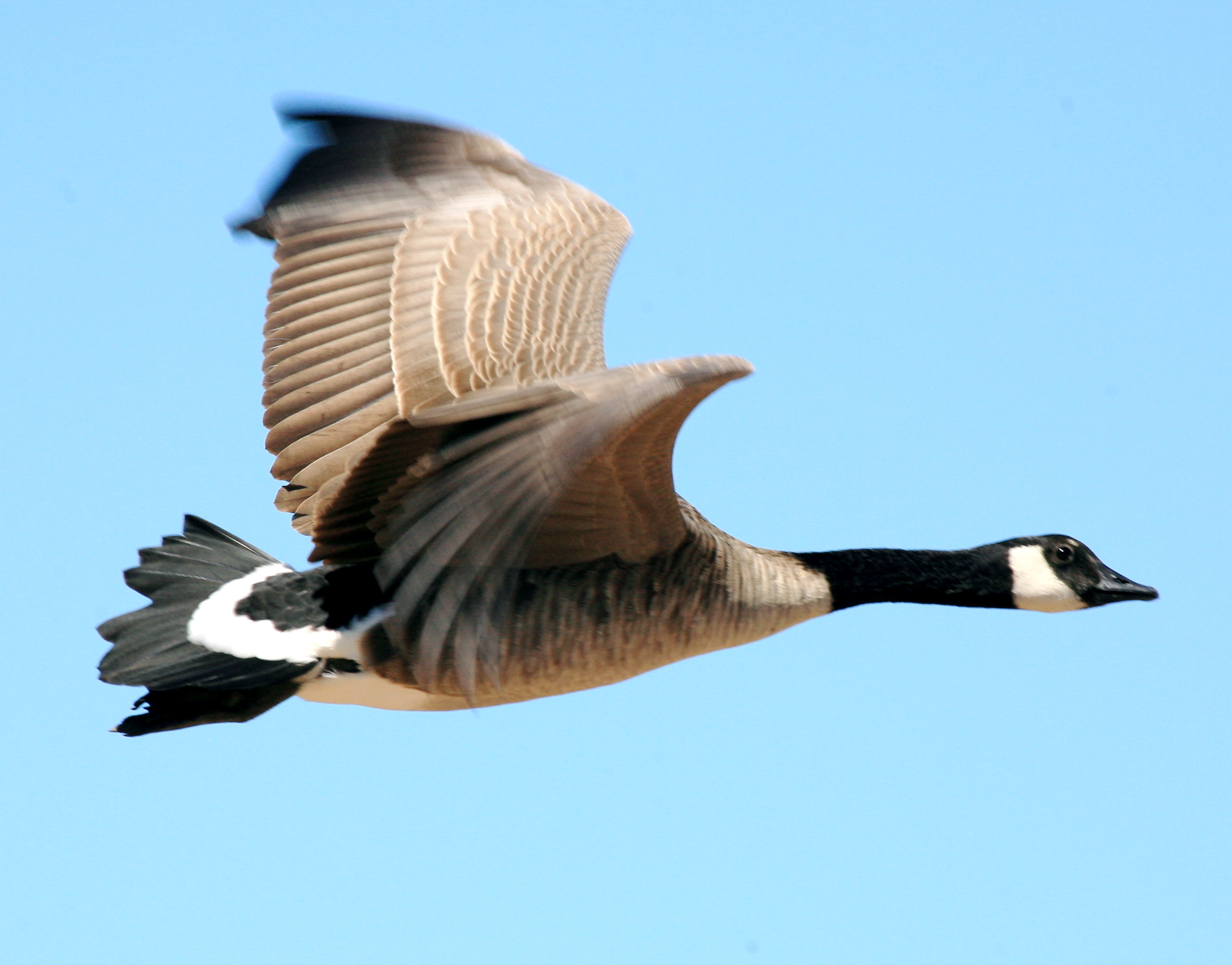 Canada Goose mens outlet price - File:O Canada goose.jpg - Wikimedia Commons