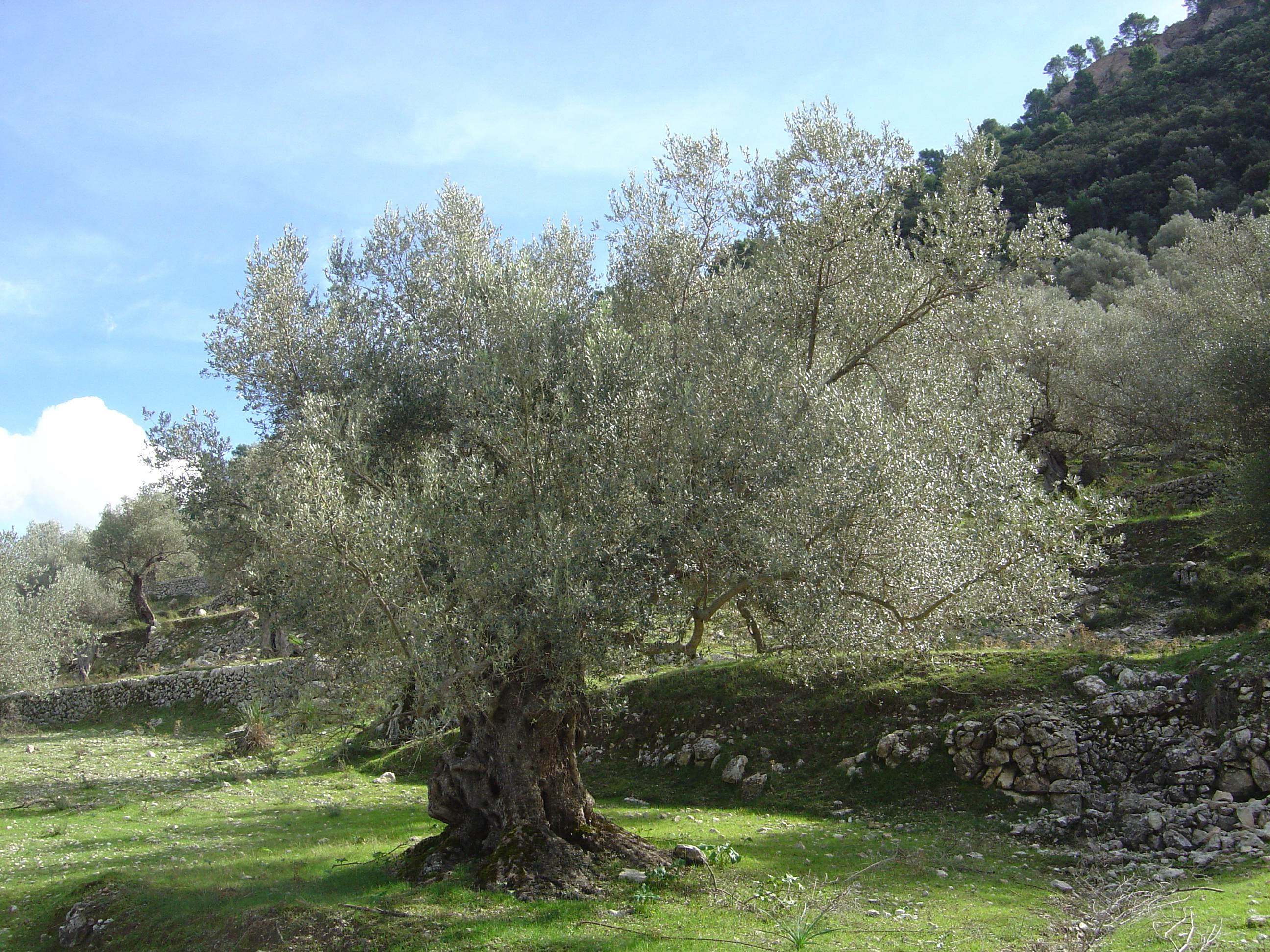 file olive tree olea europaea. Black Bedroom Furniture Sets. Home Design Ideas