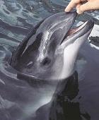 Phocoena phocoena vanlig tumlare.jpg