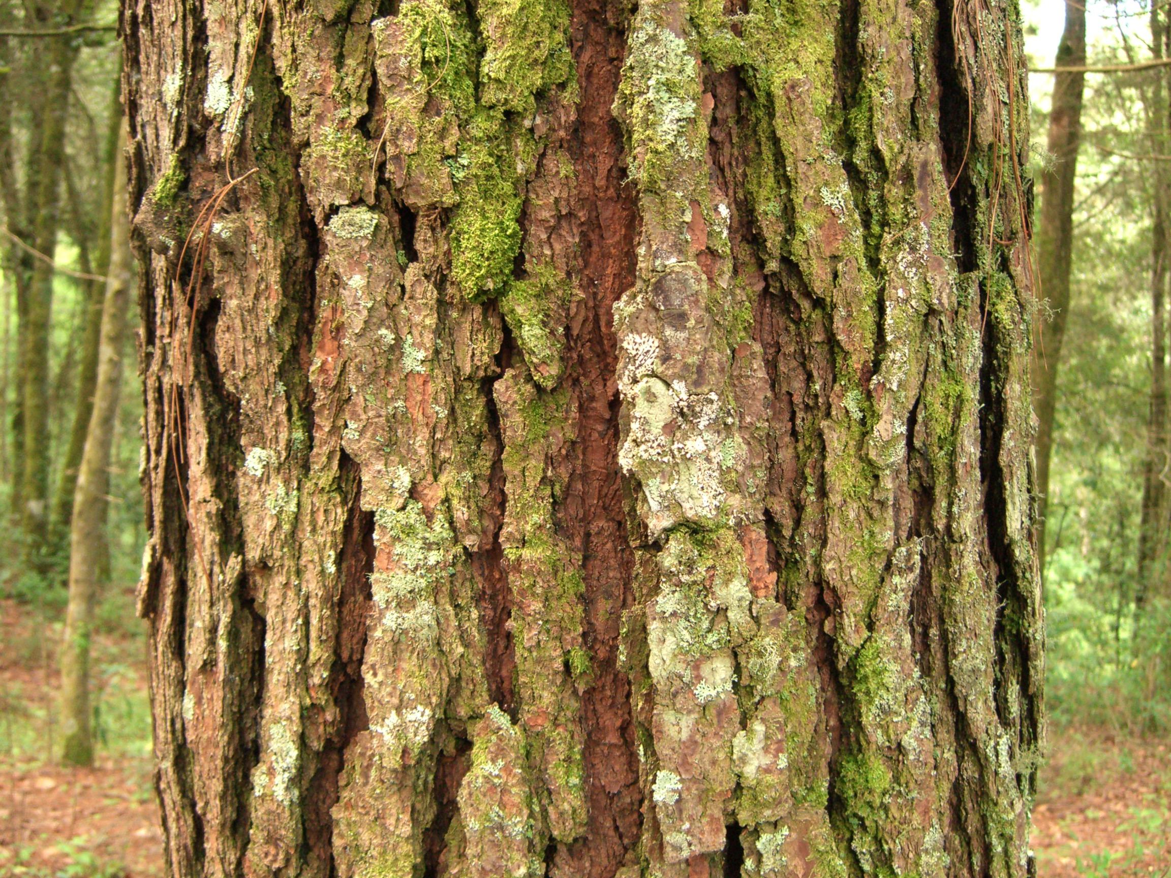 File:Pine bark tecpan guatemala JPG - Wikipedia