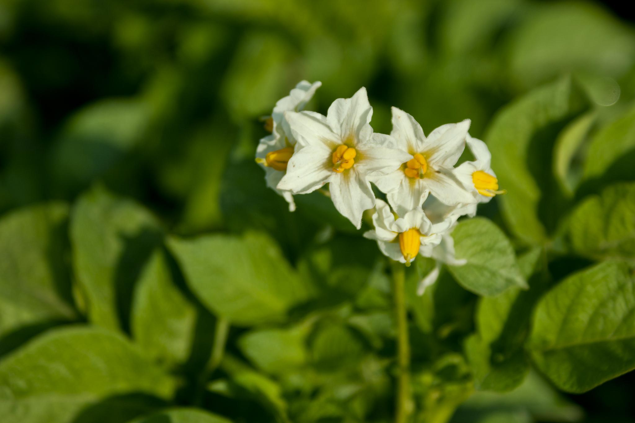 File:Potato Flower on the field.jpg