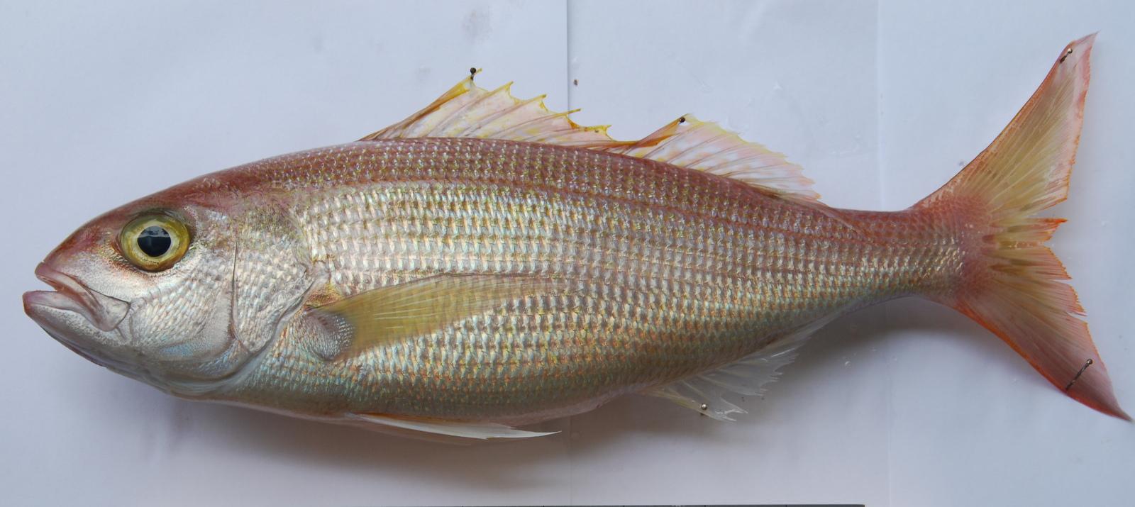 Fisk fångst dating
