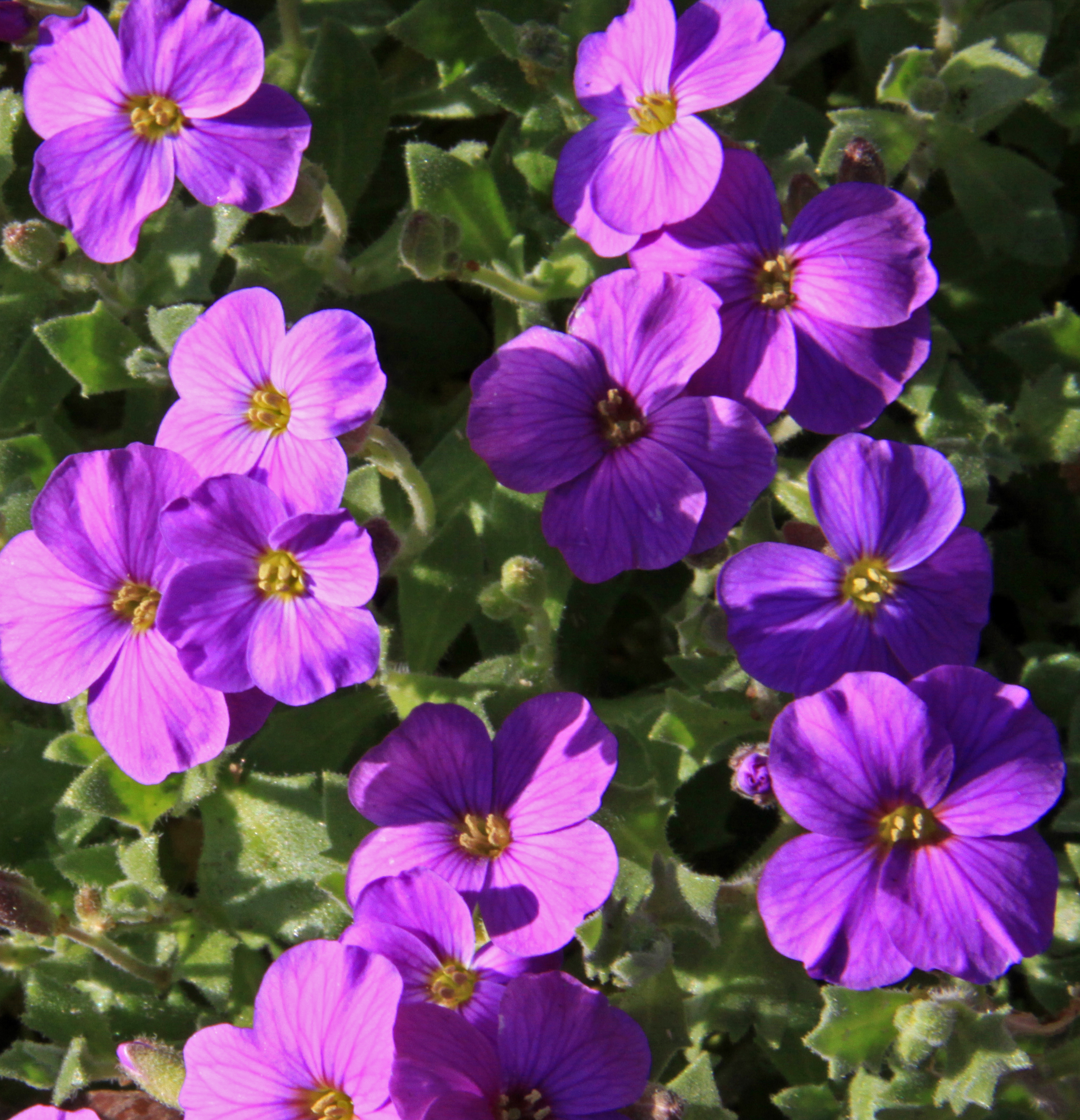File Purple Flowers 3395831028 Jpg