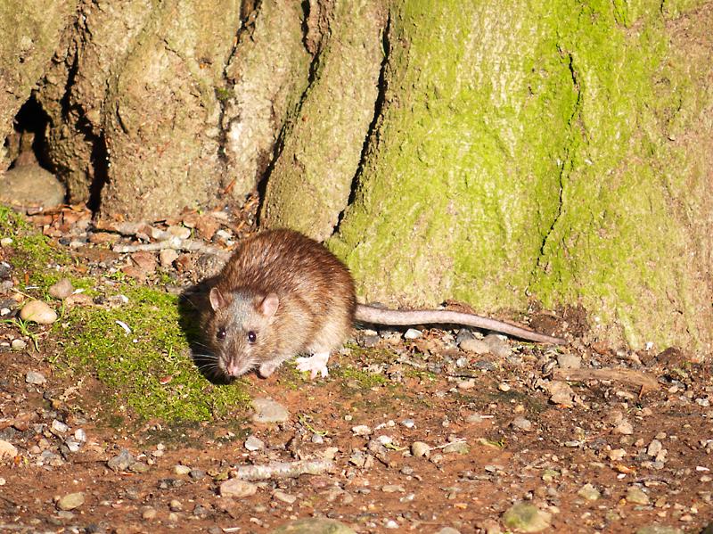 Potkan hnedý