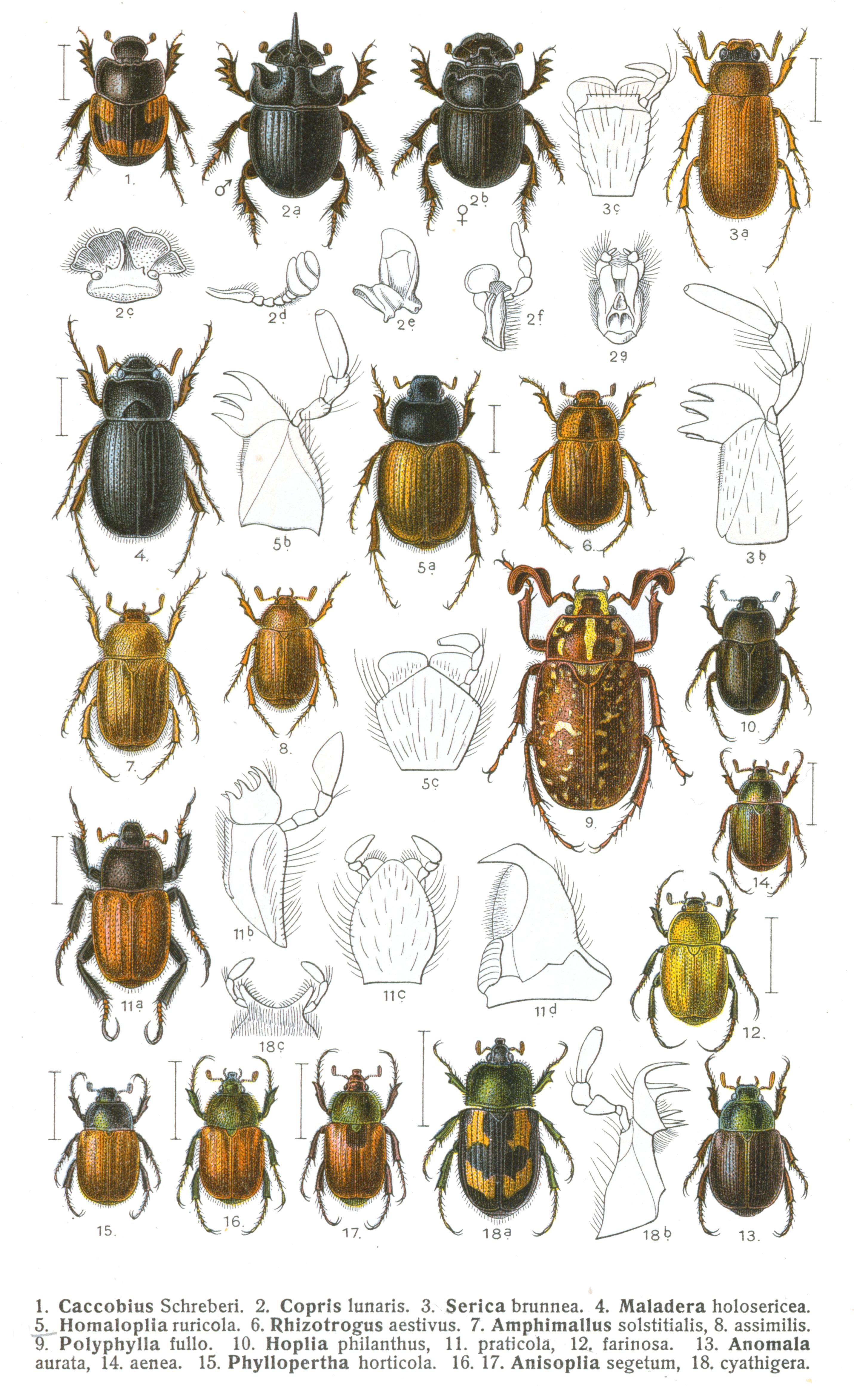 Scarabaeidae Wikiwand