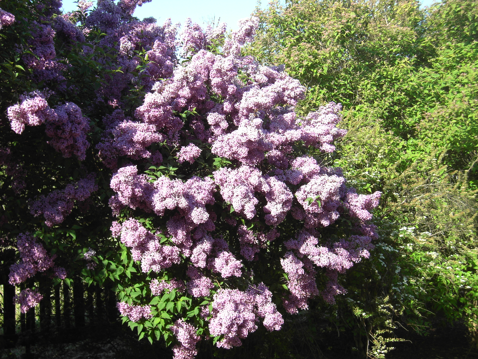 File syringa vulgaris in wikimedia commons - Syringa vulgaris ...