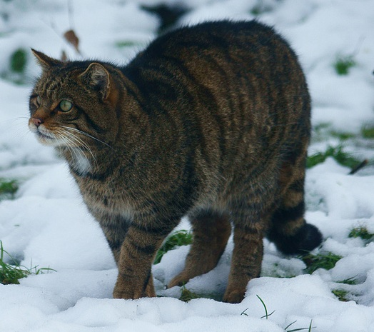 Wildcat at British Wildlife Centre