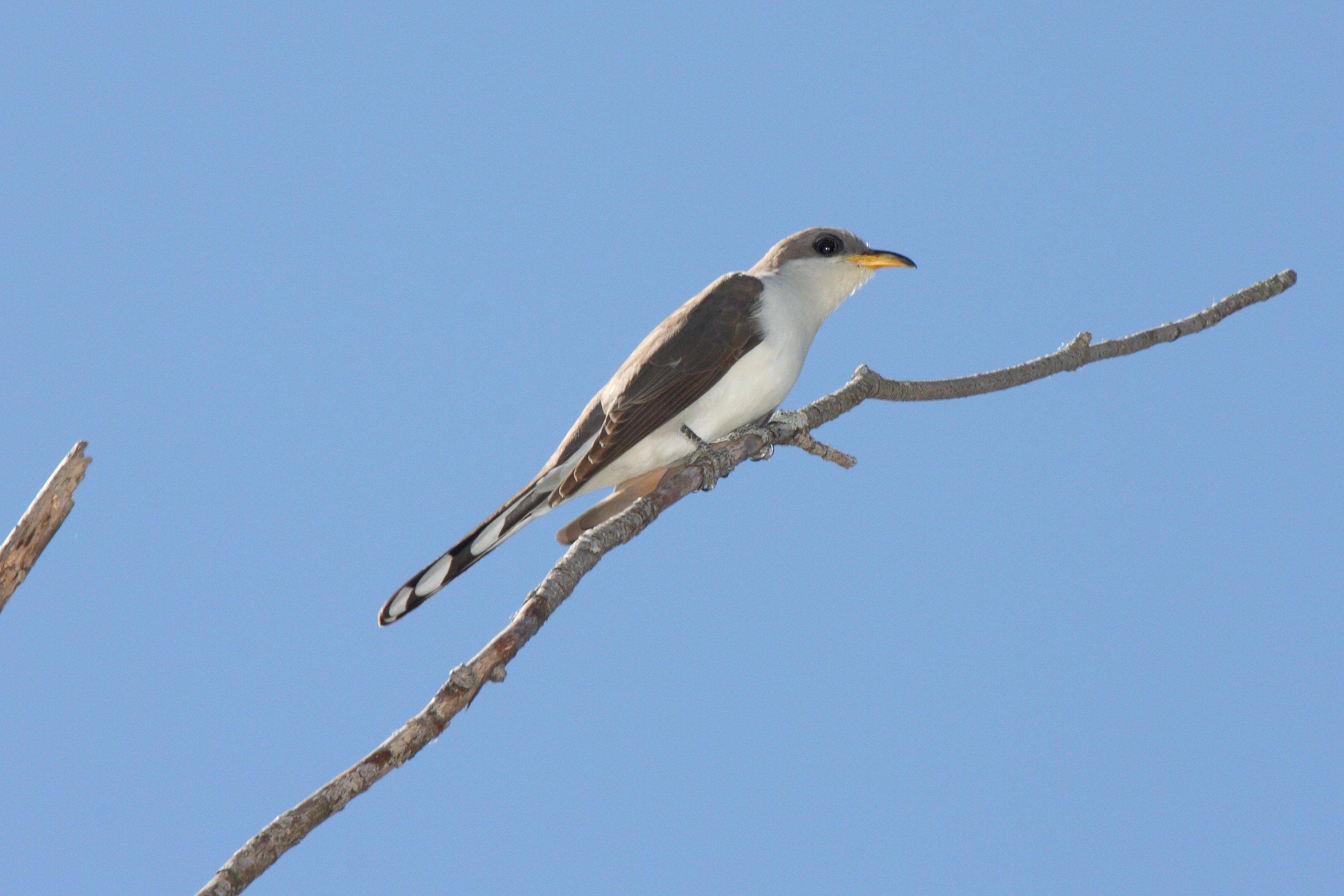 FileYellow Billed Cuckoo Coccyzus Americanus 5822528612