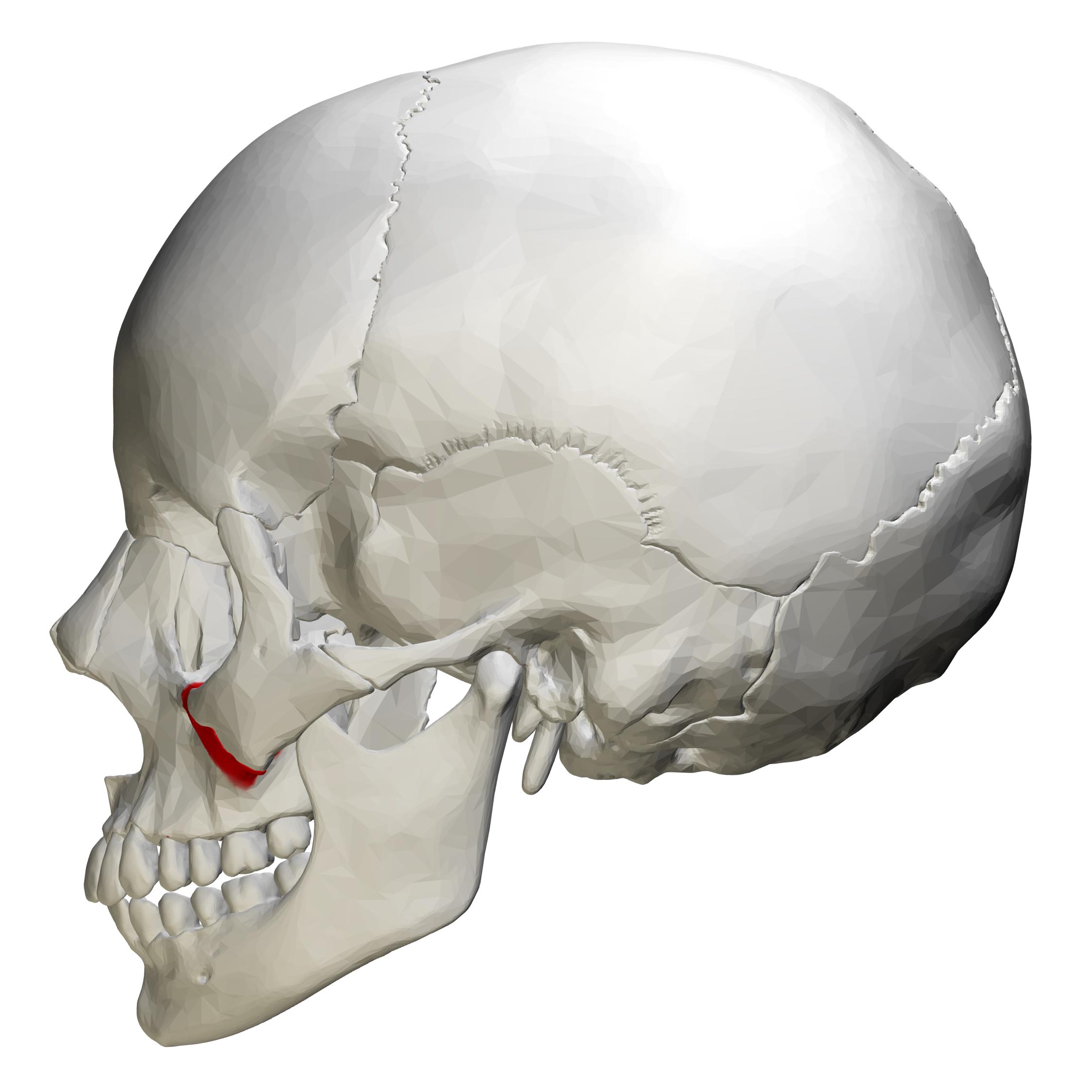 File:Zygomatic process of maxilla - skull - lateral view ... Zygomatic Process Of Maxilla