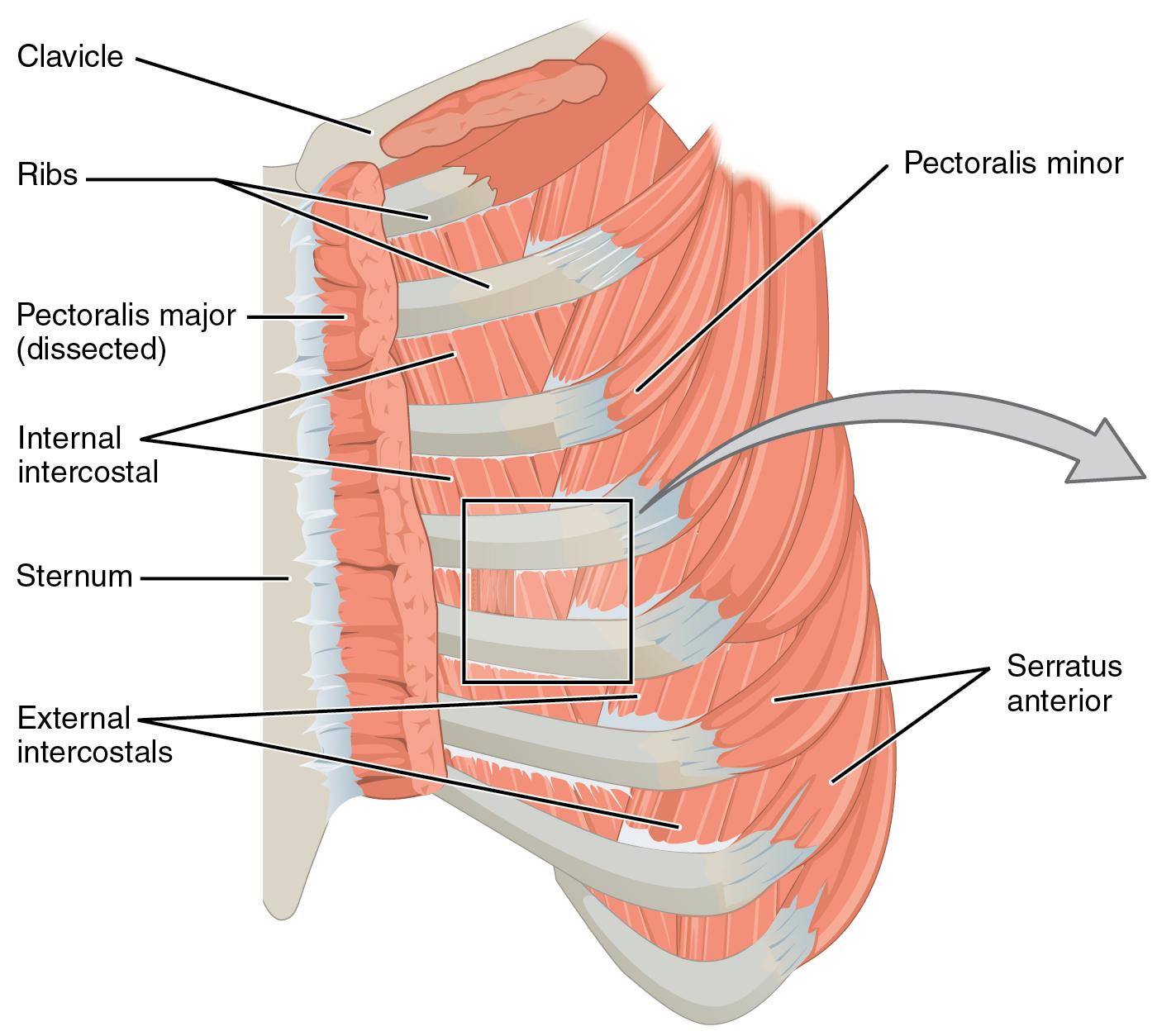 File1114 thorax bigg wikimedia commons file1114 thorax bigg pooptronica Choice Image