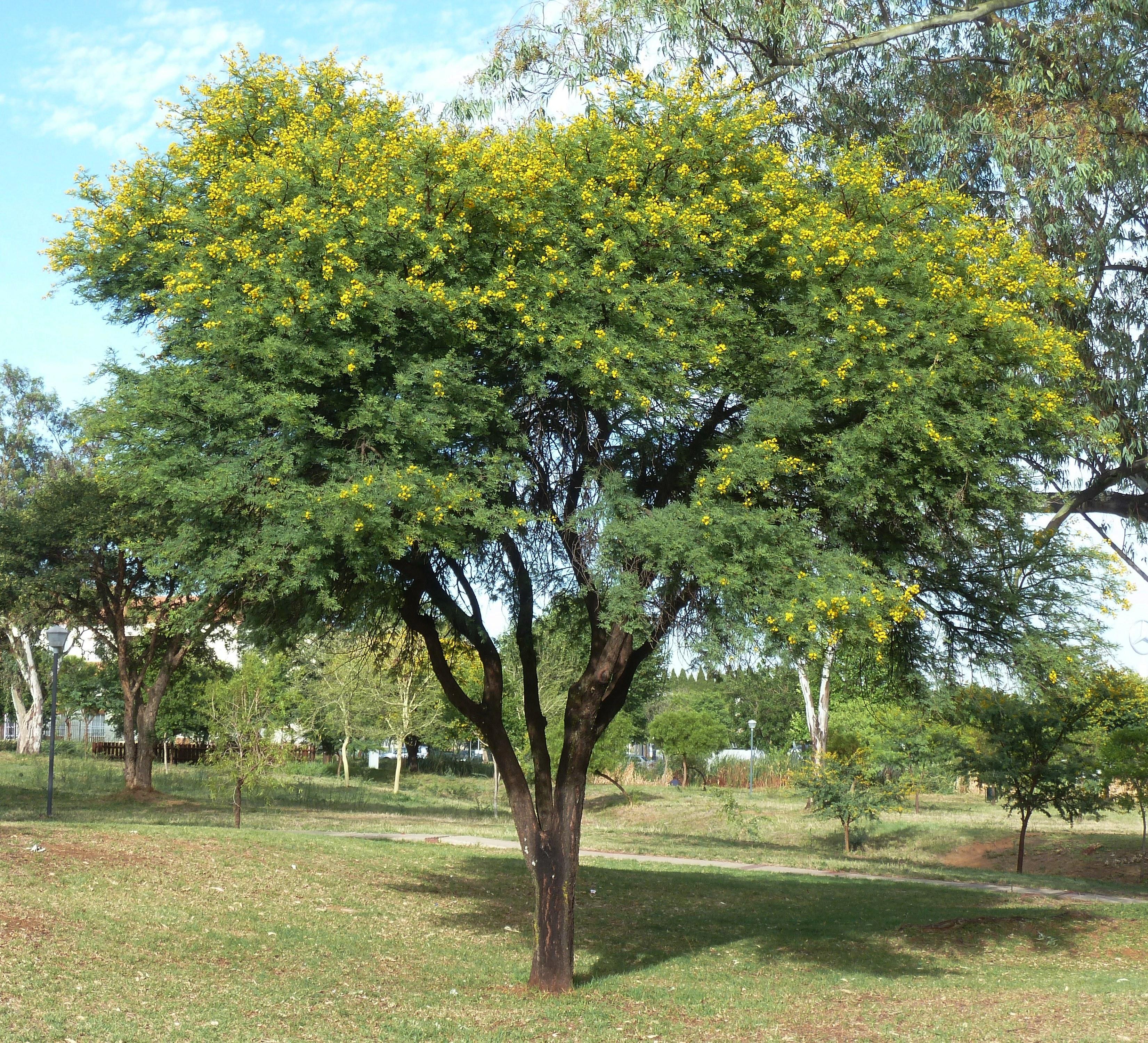 Fileacacia Karroo Habitus Jimmy Aves Park Cjpg Wikimedia Commons