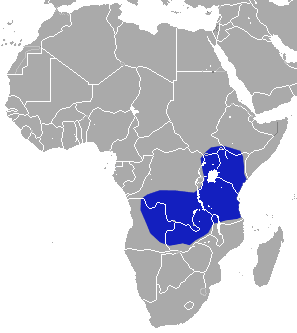 The average adult weight of a African black shrew is 11 grams (0.02 lbs)