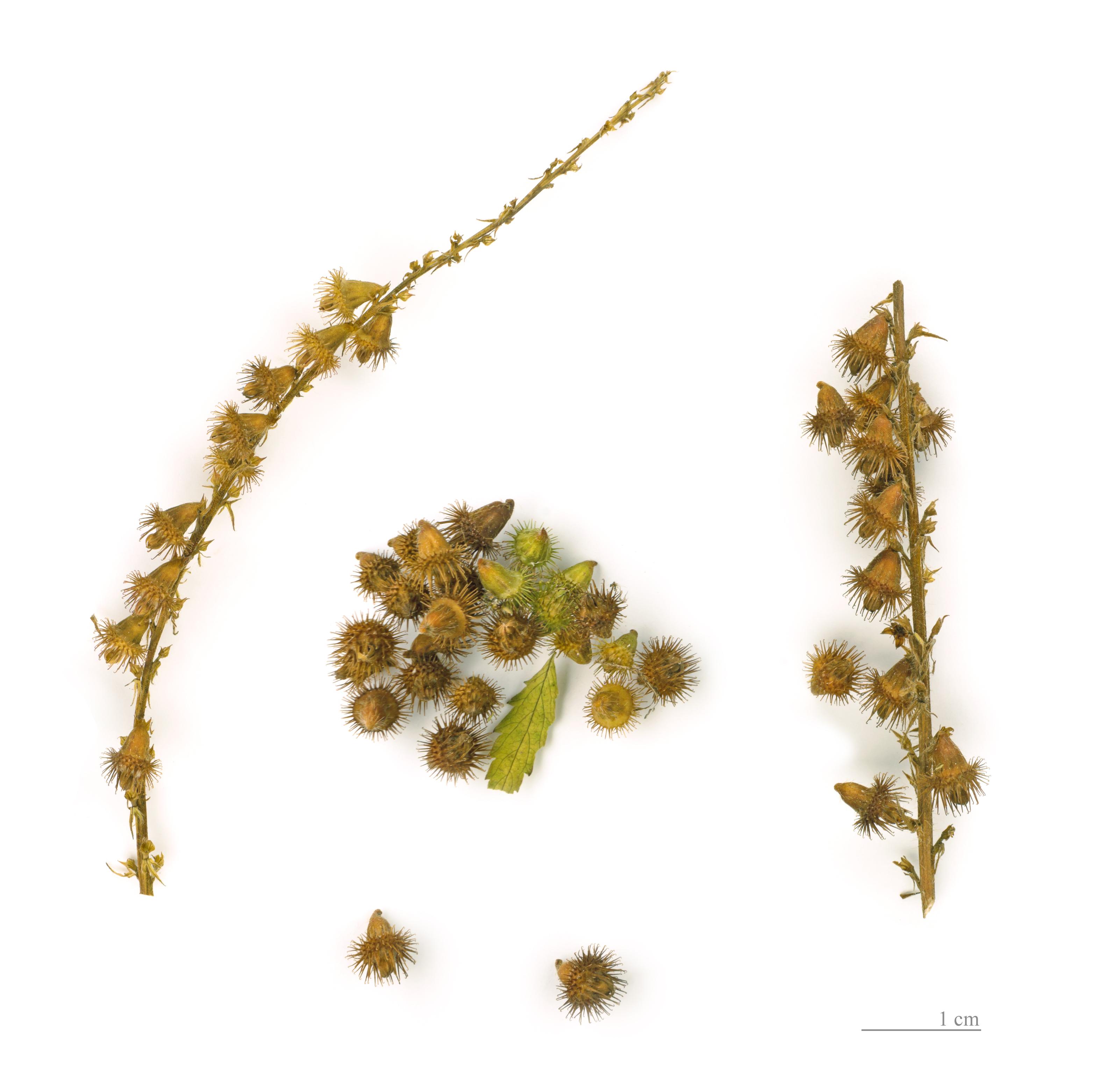 DateiAgrimonia eupatoria MHNT.BOT.220.20.jpg – Wikipedia