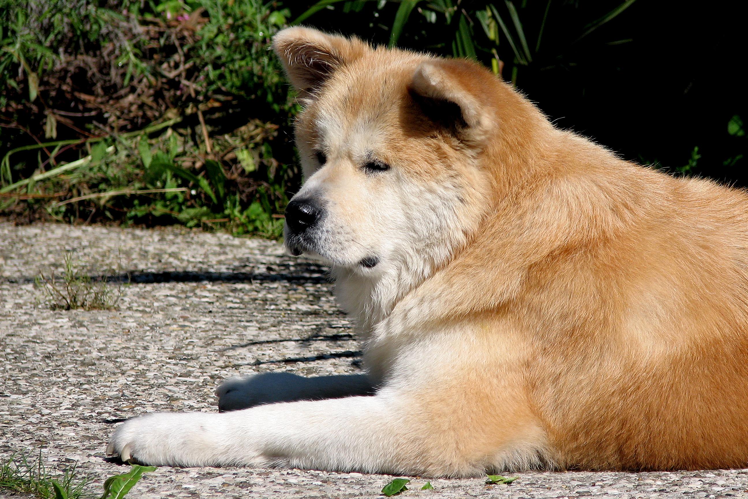 American Akita Dog For Sale