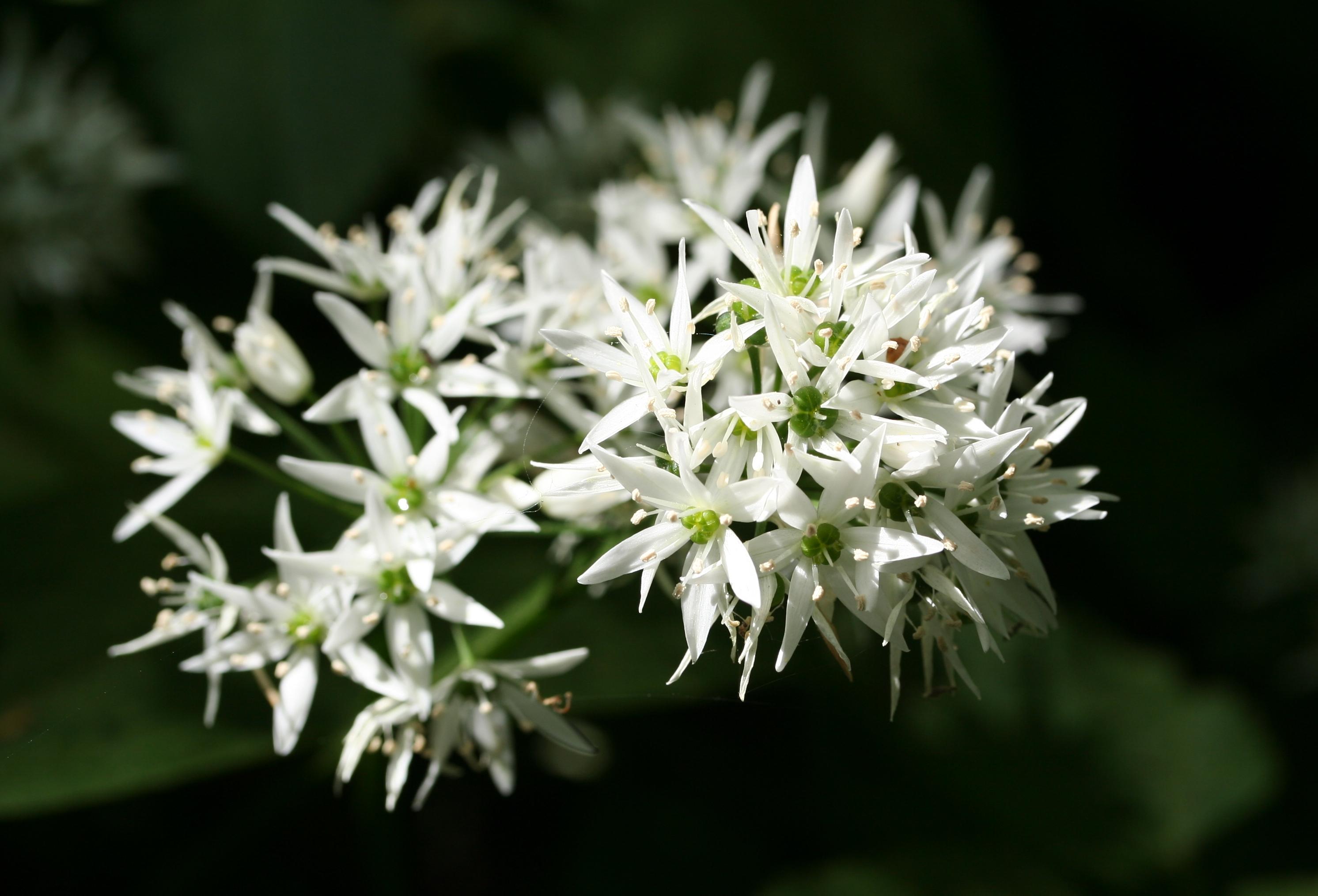 Allium_ursinum-01_%28xndr%29.jpg