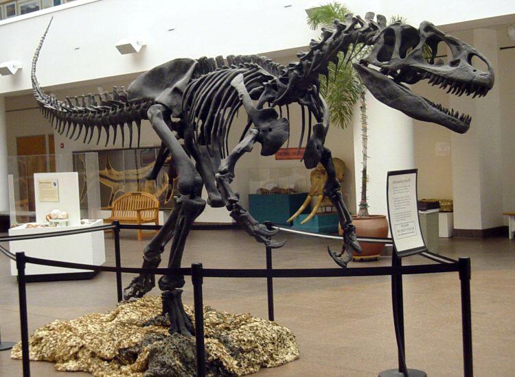 allosaurus fragilis skull