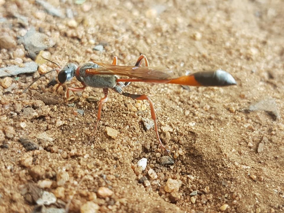 Bộ sưu tập côn trùng 2 - Page 2 Ammophila_ferrugineipes07