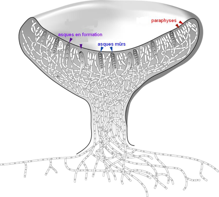 Is aspergillus single or multicellular Aspergillus fumigatus - Wellcome Sanger Institute