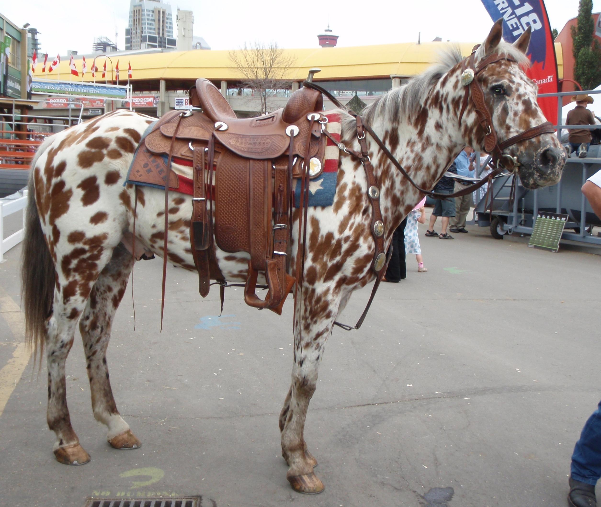file appaloosa horse jpg wikimedia commons