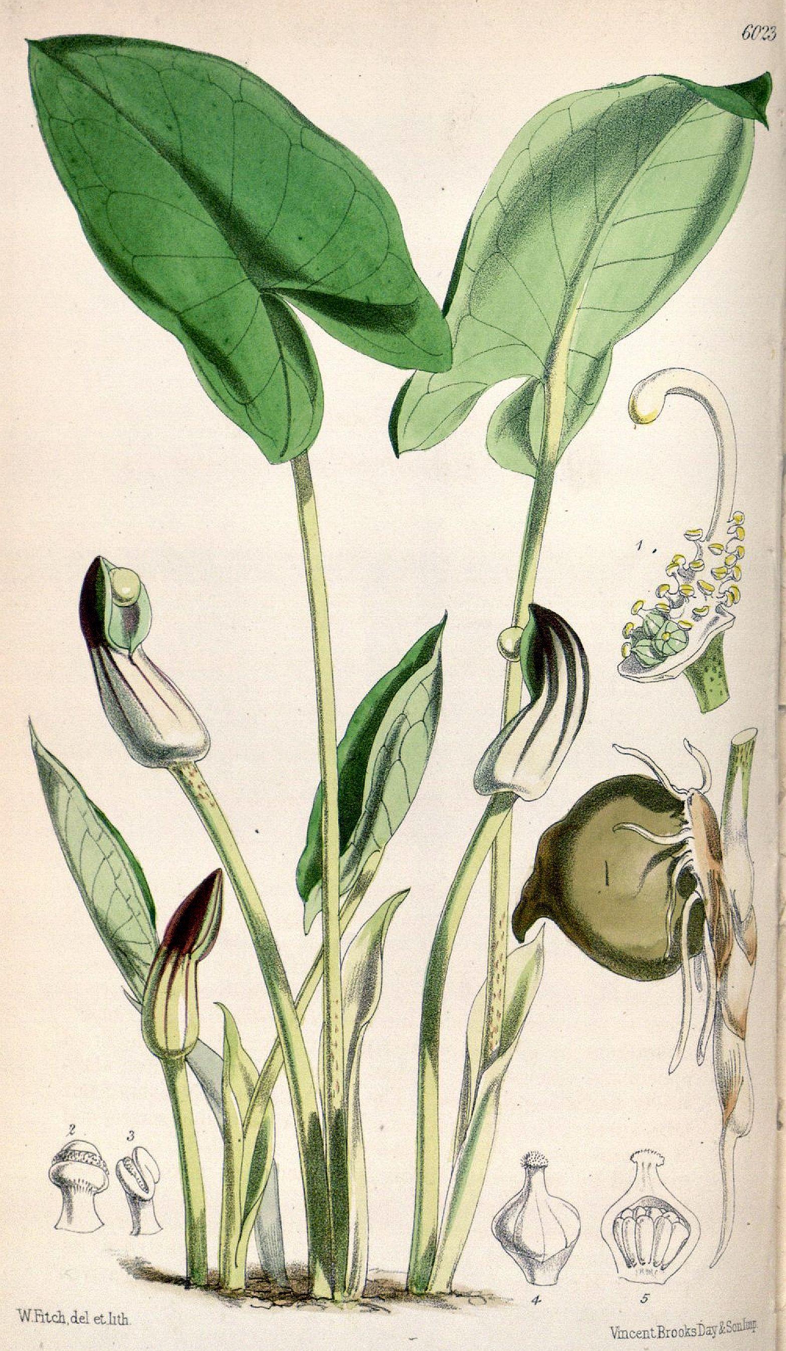 Arisarum vulgare CBM.jpg