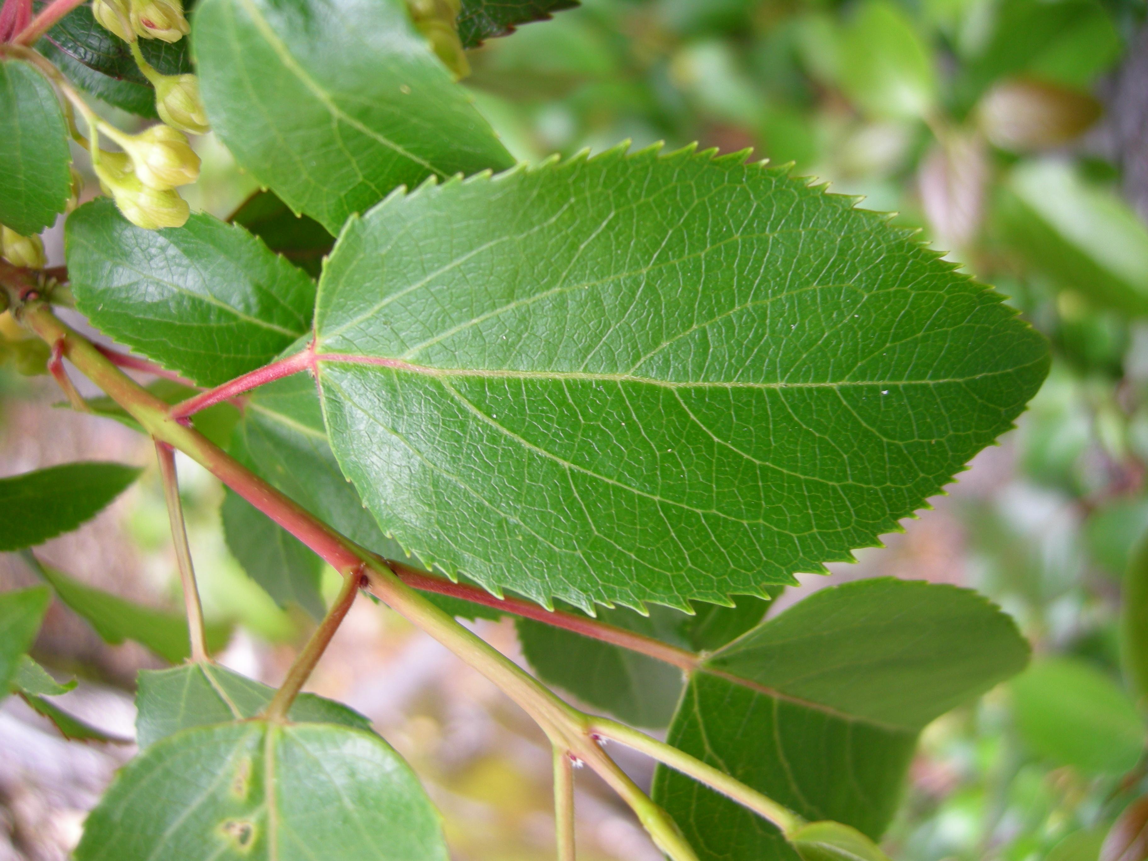 file aristotelia chilensis leave 01 jpg wikimedia commons