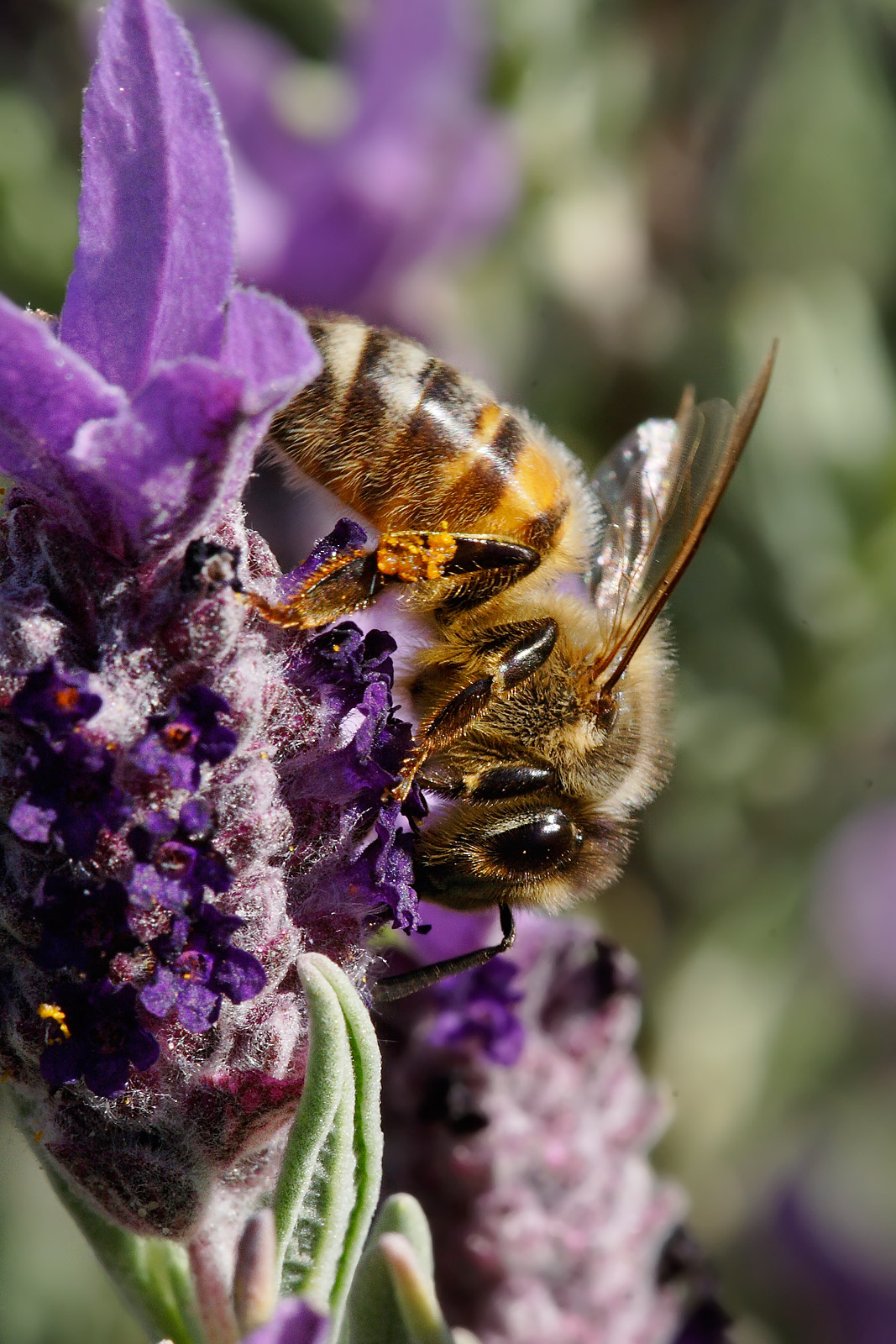 Honigbiene (Wikipedia)