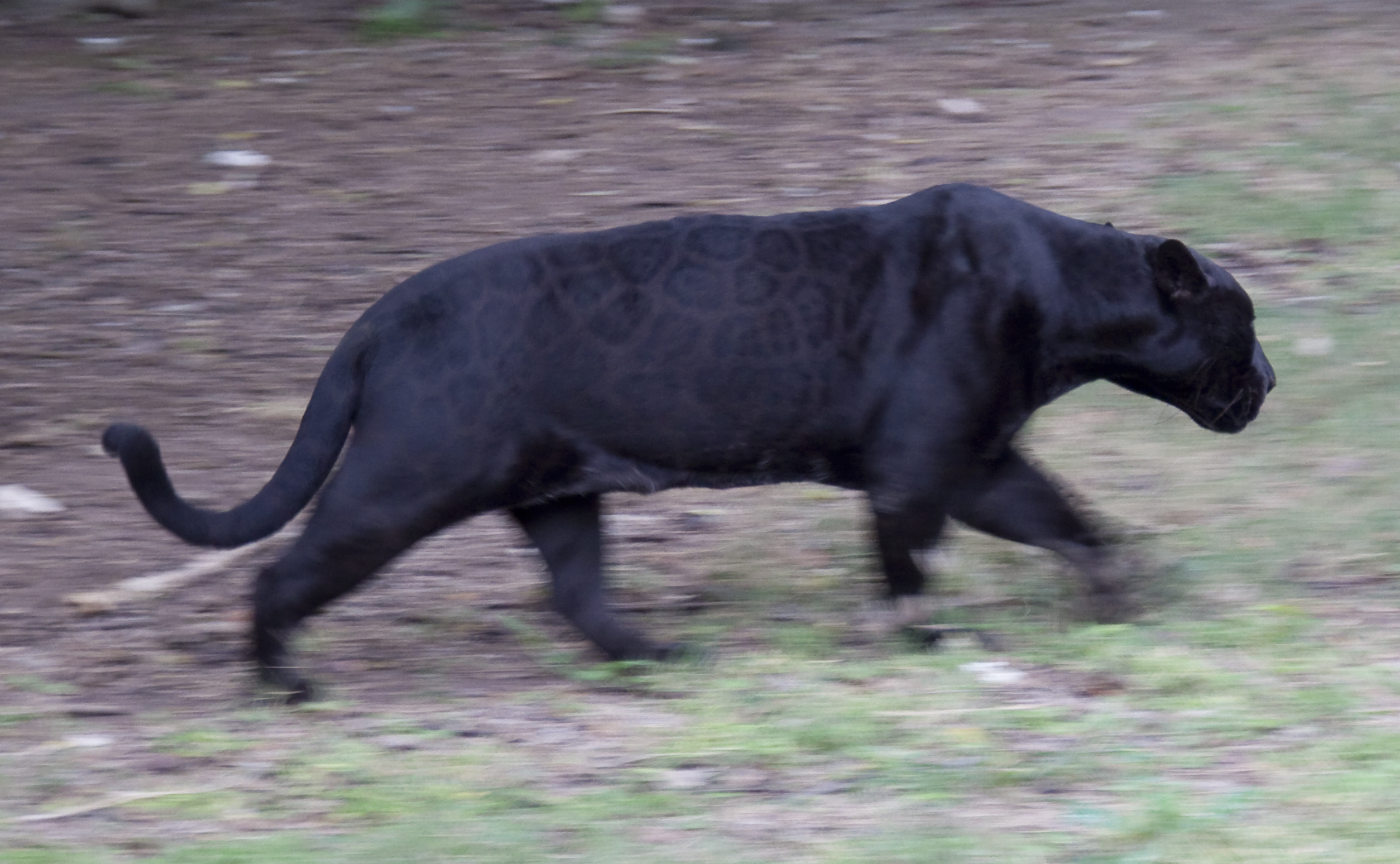 Ficheiro:Black Jaguar On The Move (4375020268)