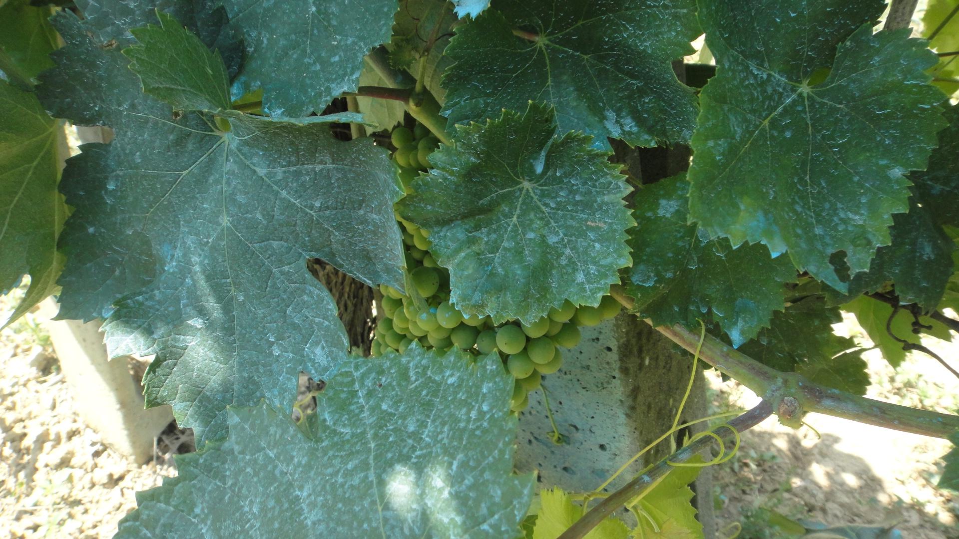 Bordo bulamac vikipedi - Traitement de la vigne ...