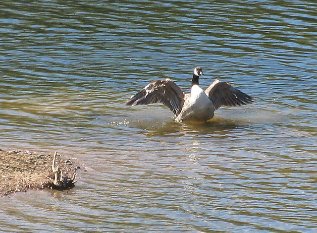 Canada goose in a flap - geograph.org.uk - 1248407