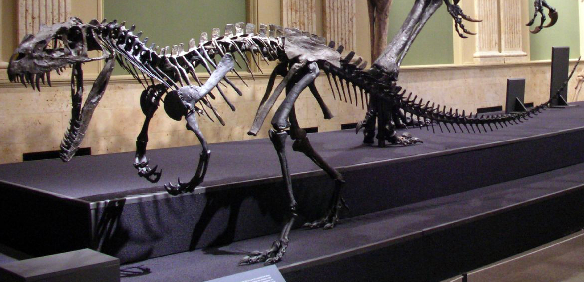 http://upload.wikimedia.org/wikipedia/commons/f/f5/Ceratosaurus_mounted.jpg