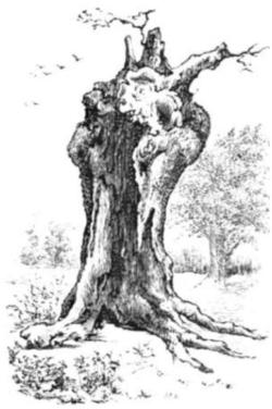 Cook elizabeth oak.png