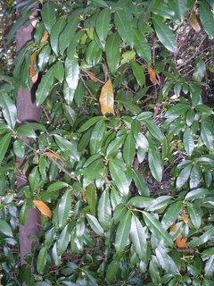 <i>Croton verreauxii</i> Species of tree