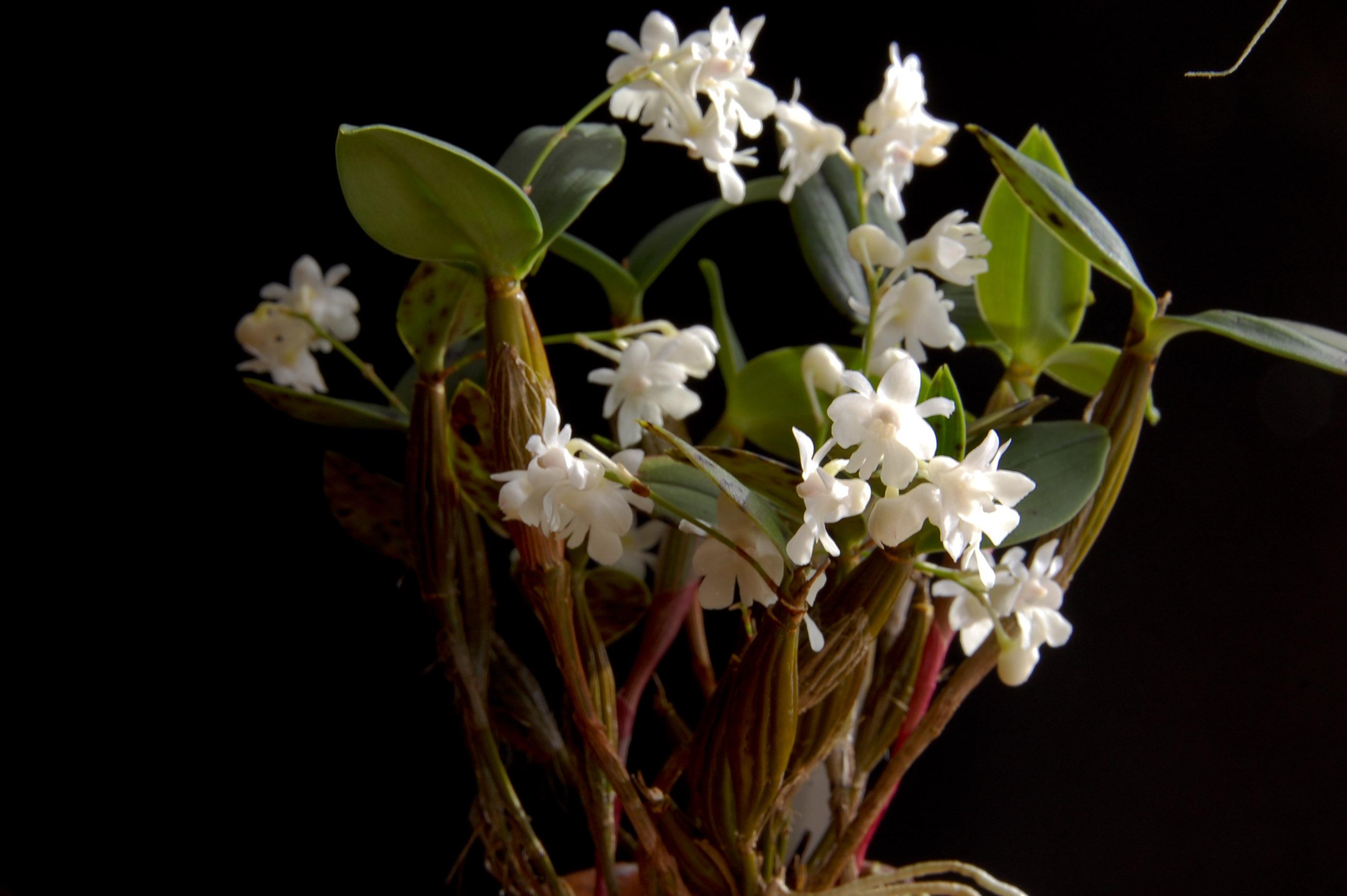 Le genre Dendrobium Dendrobium_aberrans