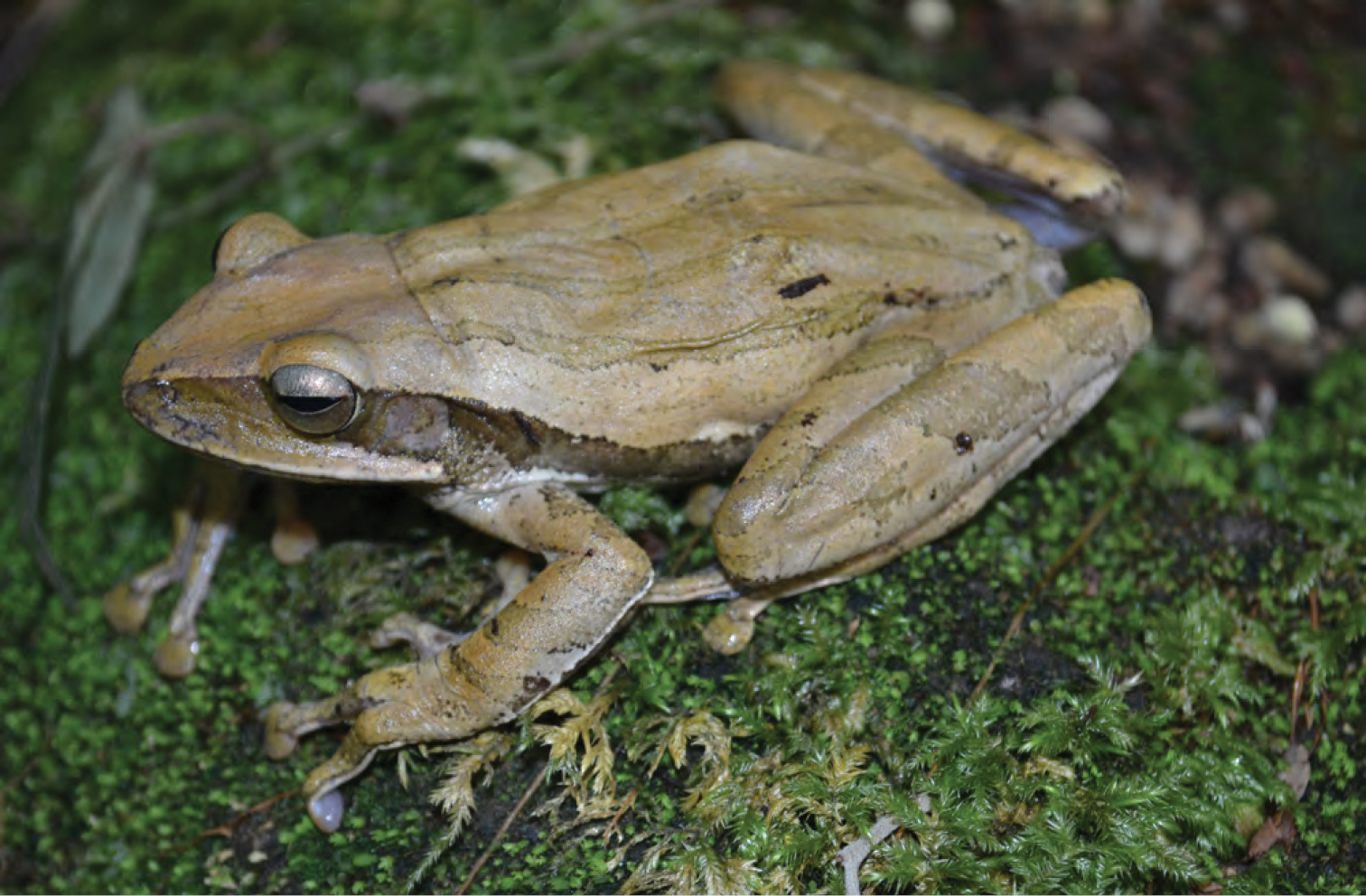 Asian golden tree frog facts images 924