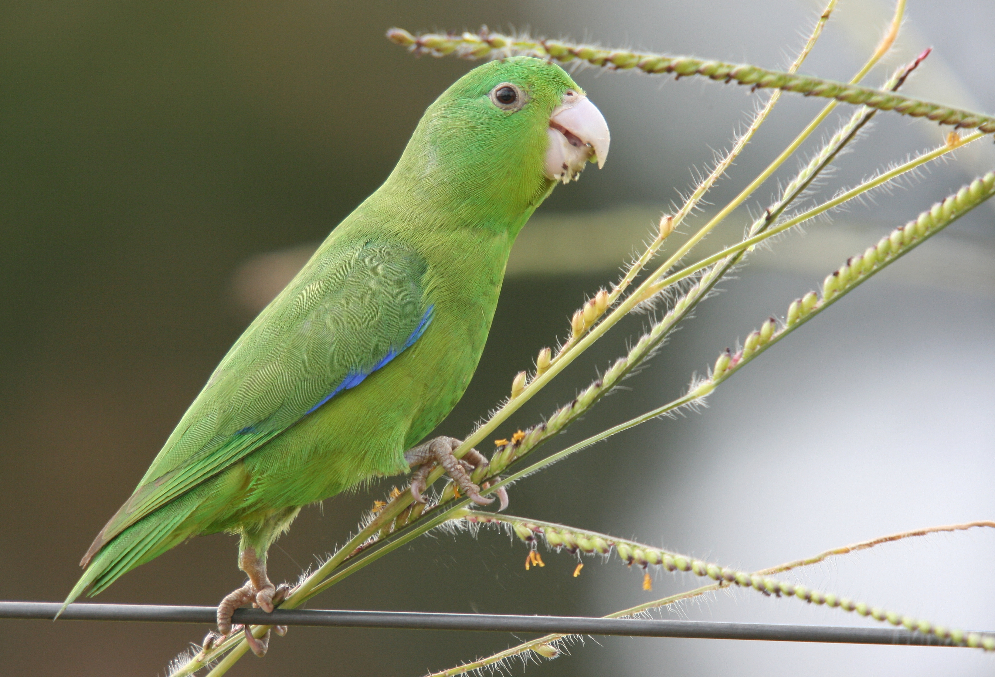 Winged Parrotlet Blue-winged Parrotlet