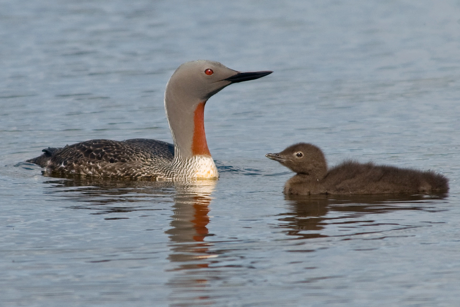 Red-throated Diver and chick - David Karnå / Wikimedia Commons - CC ... Red Throated Loon