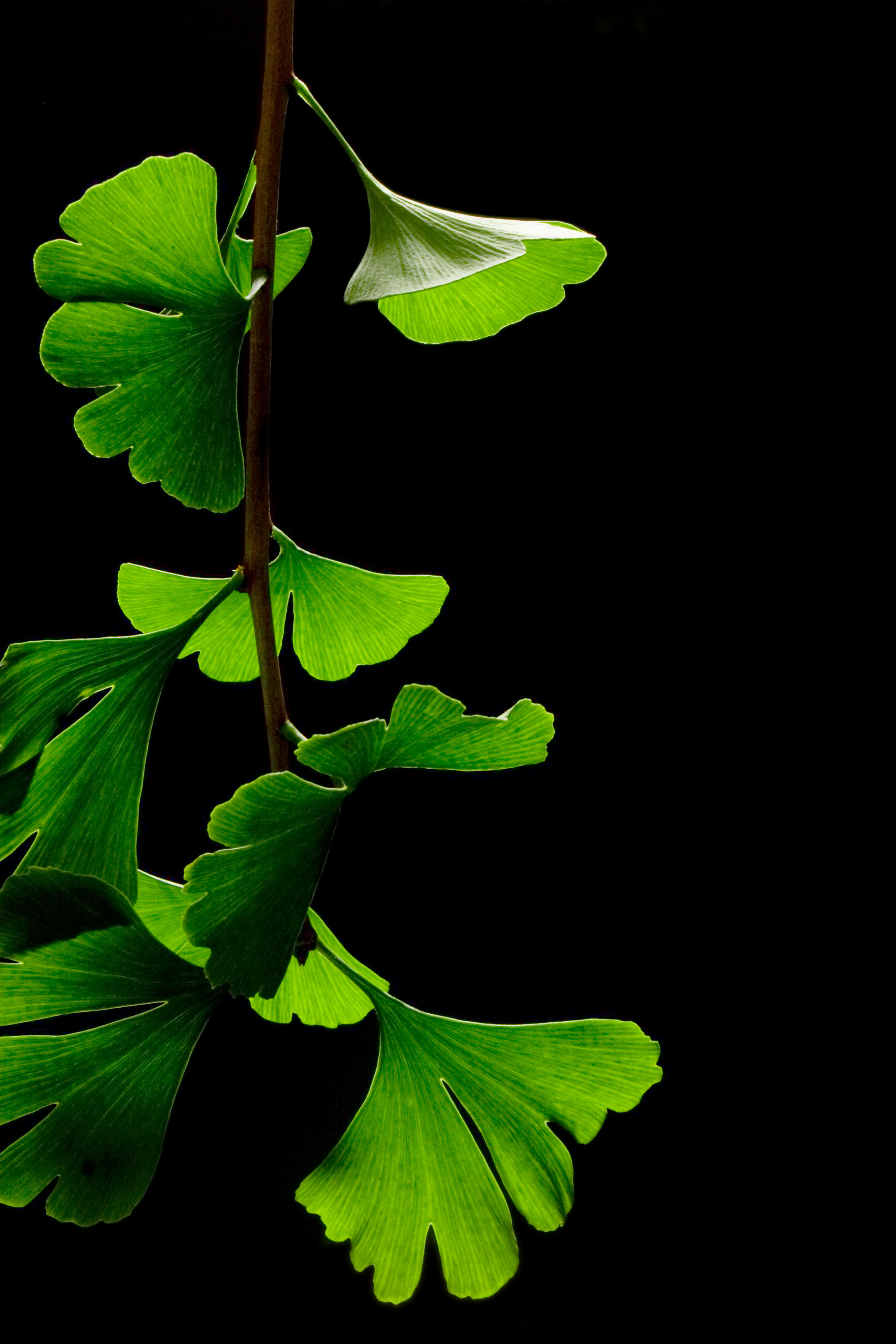 Description Ginkgo Biloba Leaves - Black Background.jpg