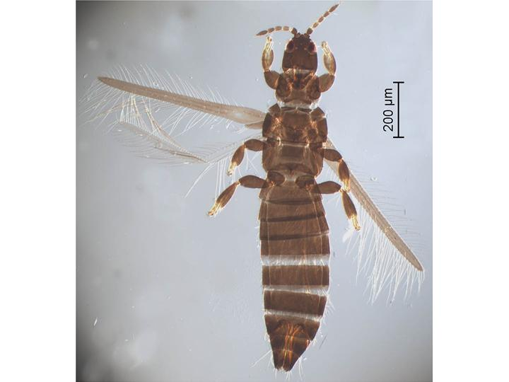 Grain Thrips - Limothrips cerealium 37045-large
