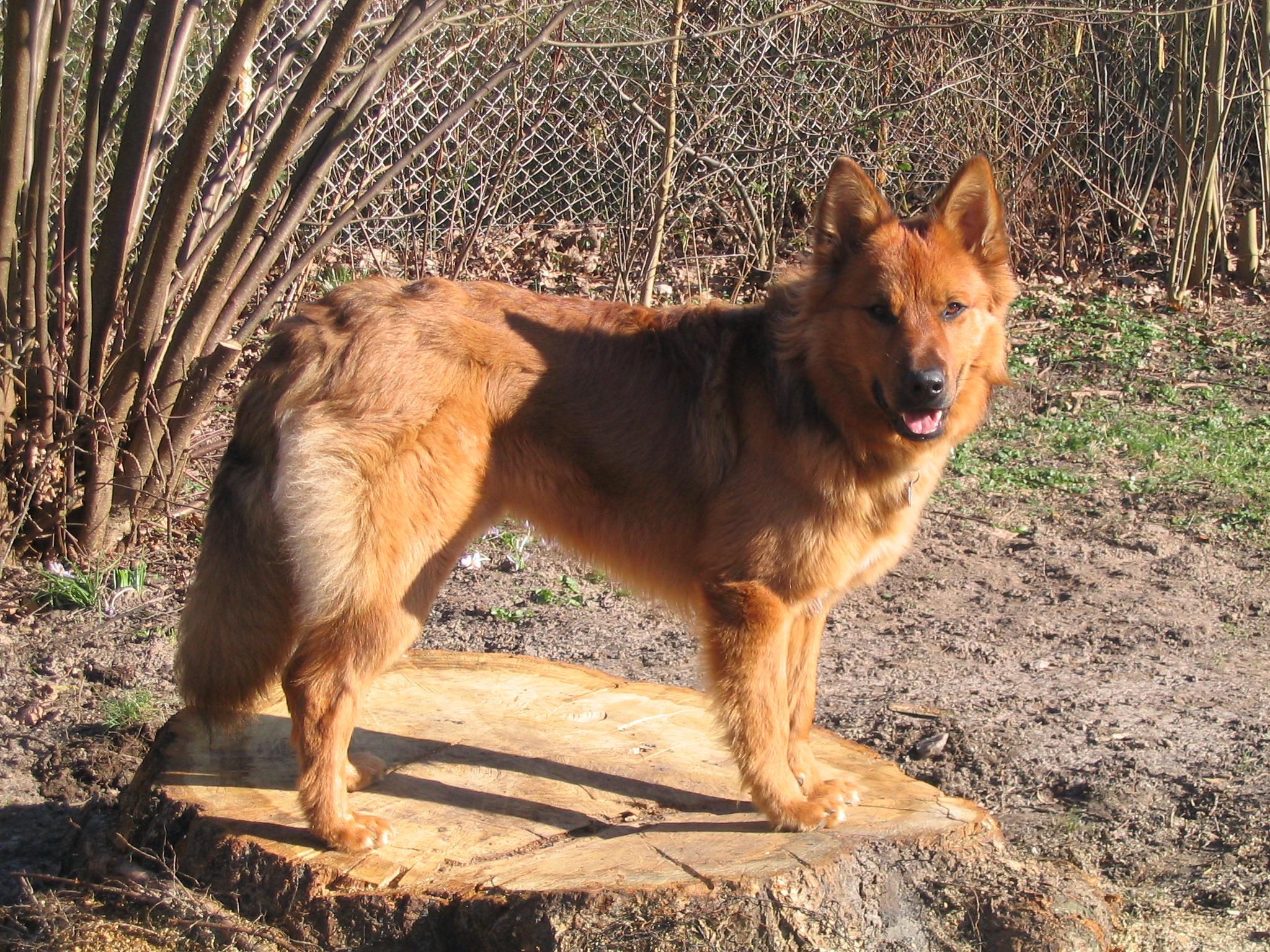 German Dog Breed Names