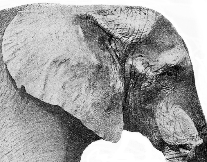 File Head Of Jumbo Png Wikimedia Commons 780 x 607 jpeg 66 кб. wikimedia commons