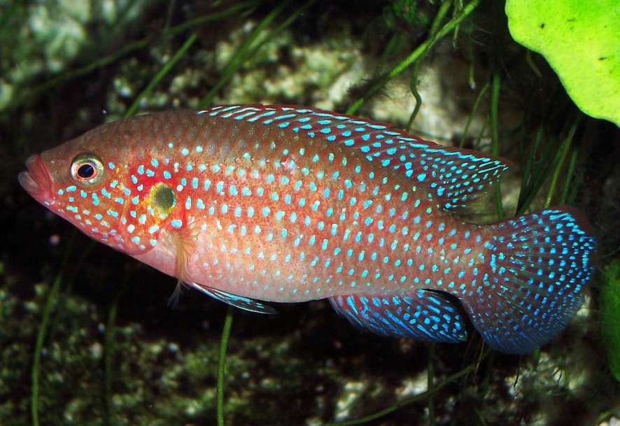 Red Jewel Cichlid Male Or Female jewel cichlid - wikipedia, the free ...