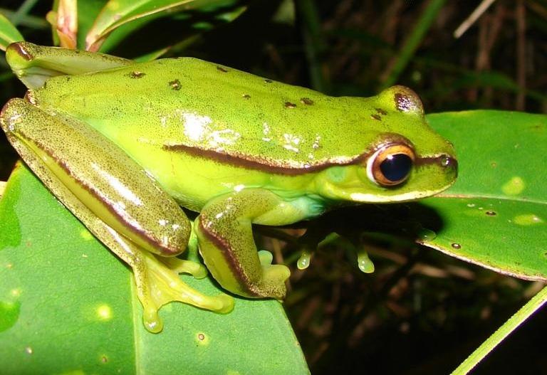 Mundo Novo tree frog - Wikipedia