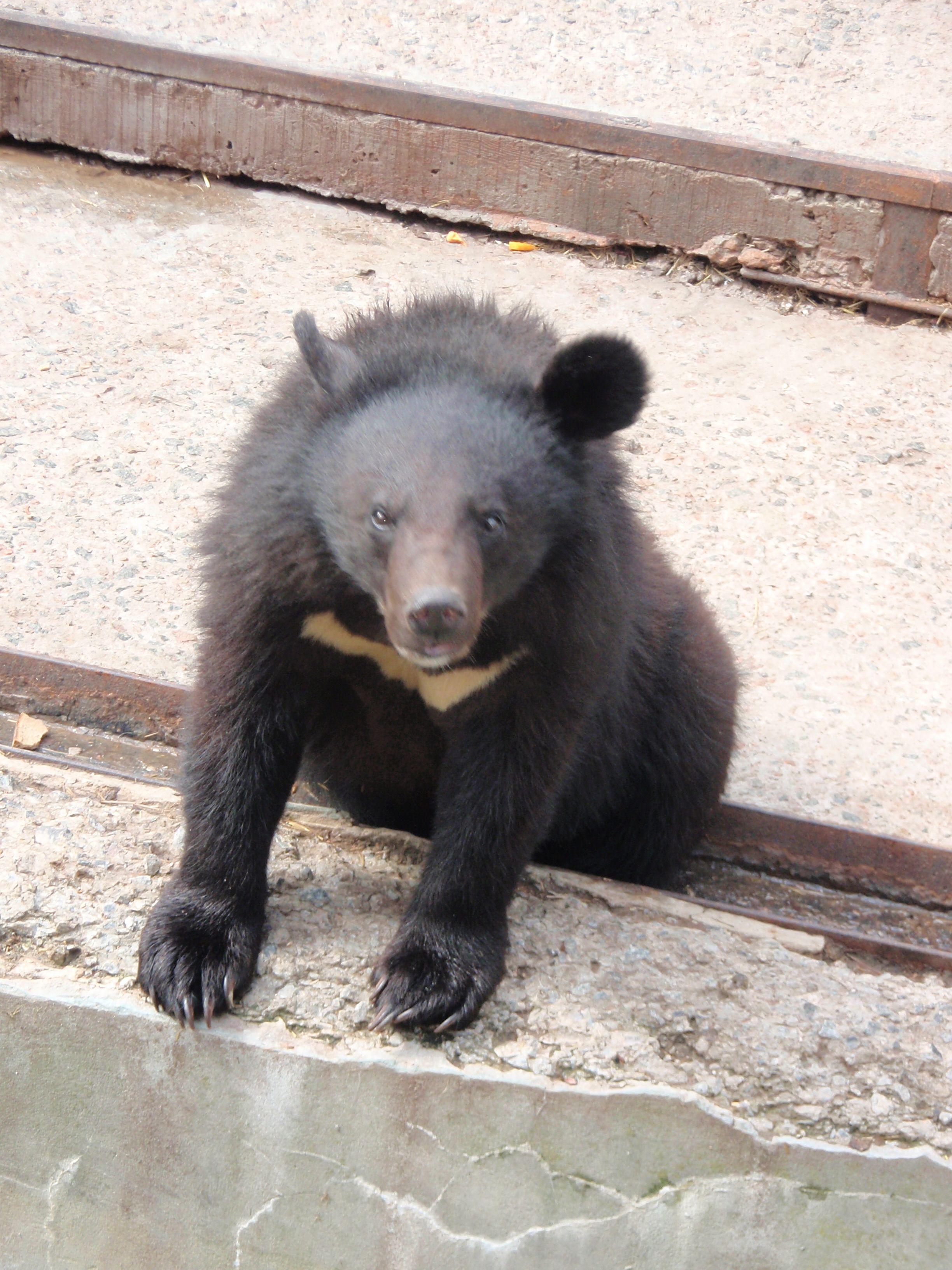 File:Kharkiv Zoo Asiatic black bear baby.JPG - Wikimedia ...