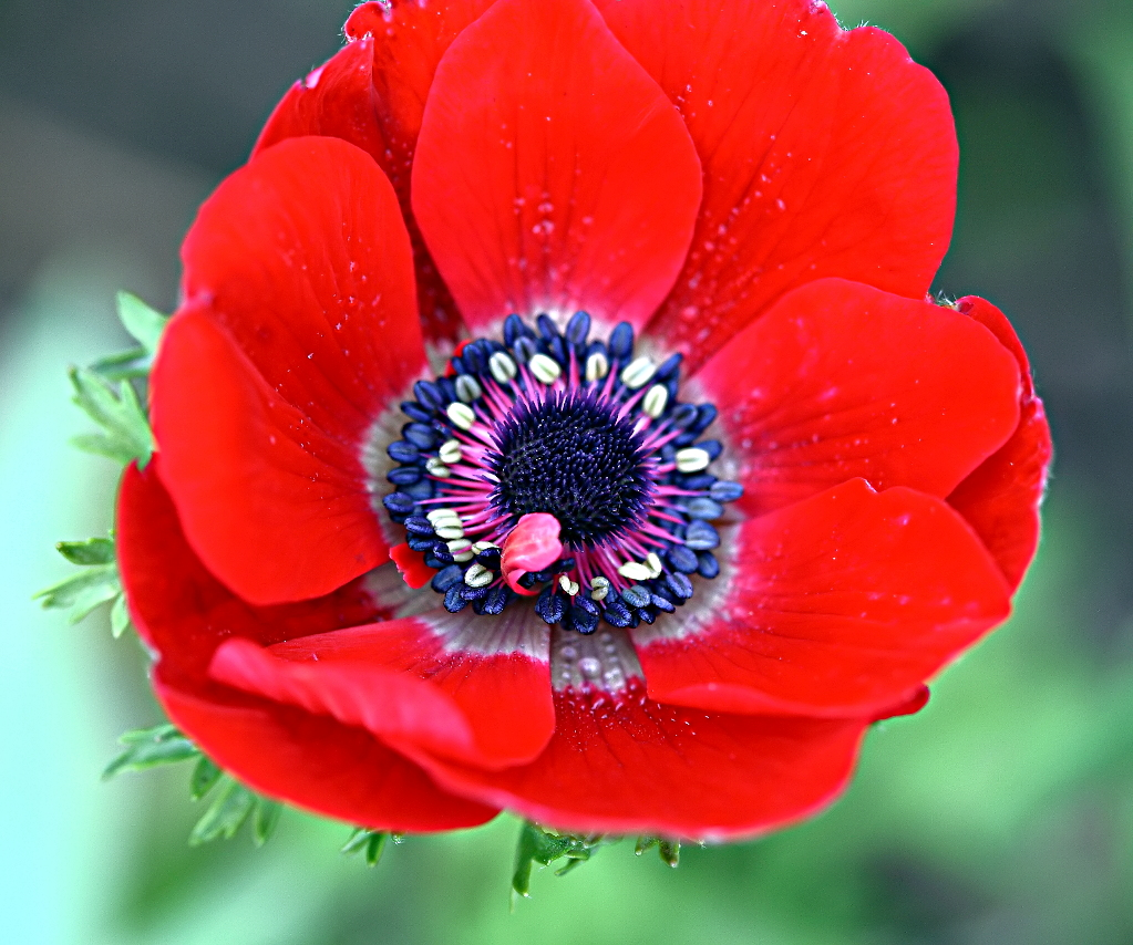 file kronen anemone anemone coronaria 0932 jpg wikimedia commons. Black Bedroom Furniture Sets. Home Design Ideas