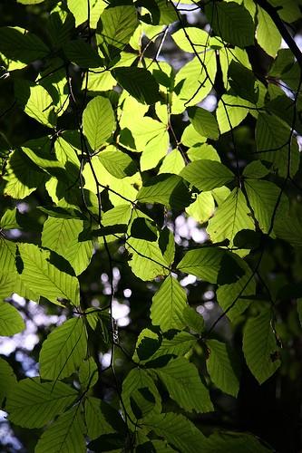 รูปใบไม้สีเขียวที่มีสารคลอโรฟิลล์