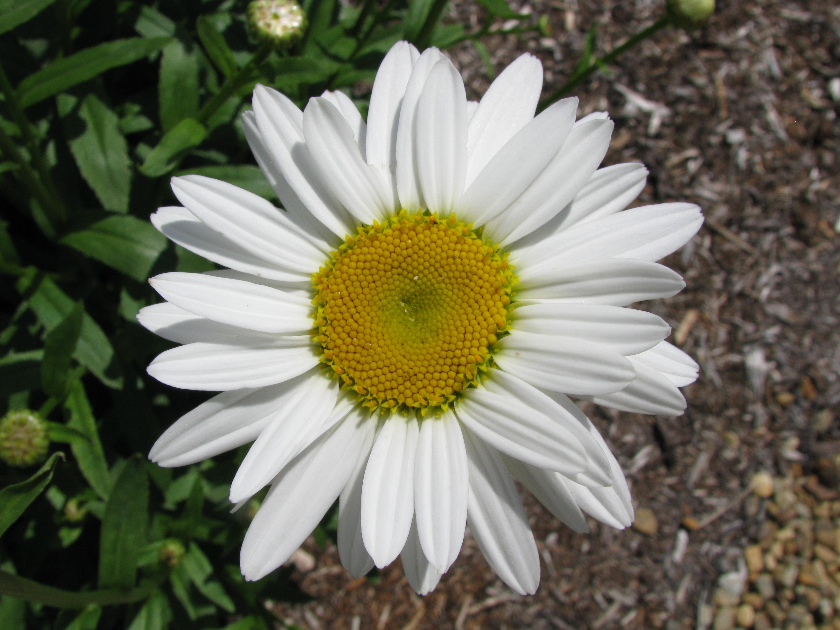 Leucanthemum Superbum Wikipedia