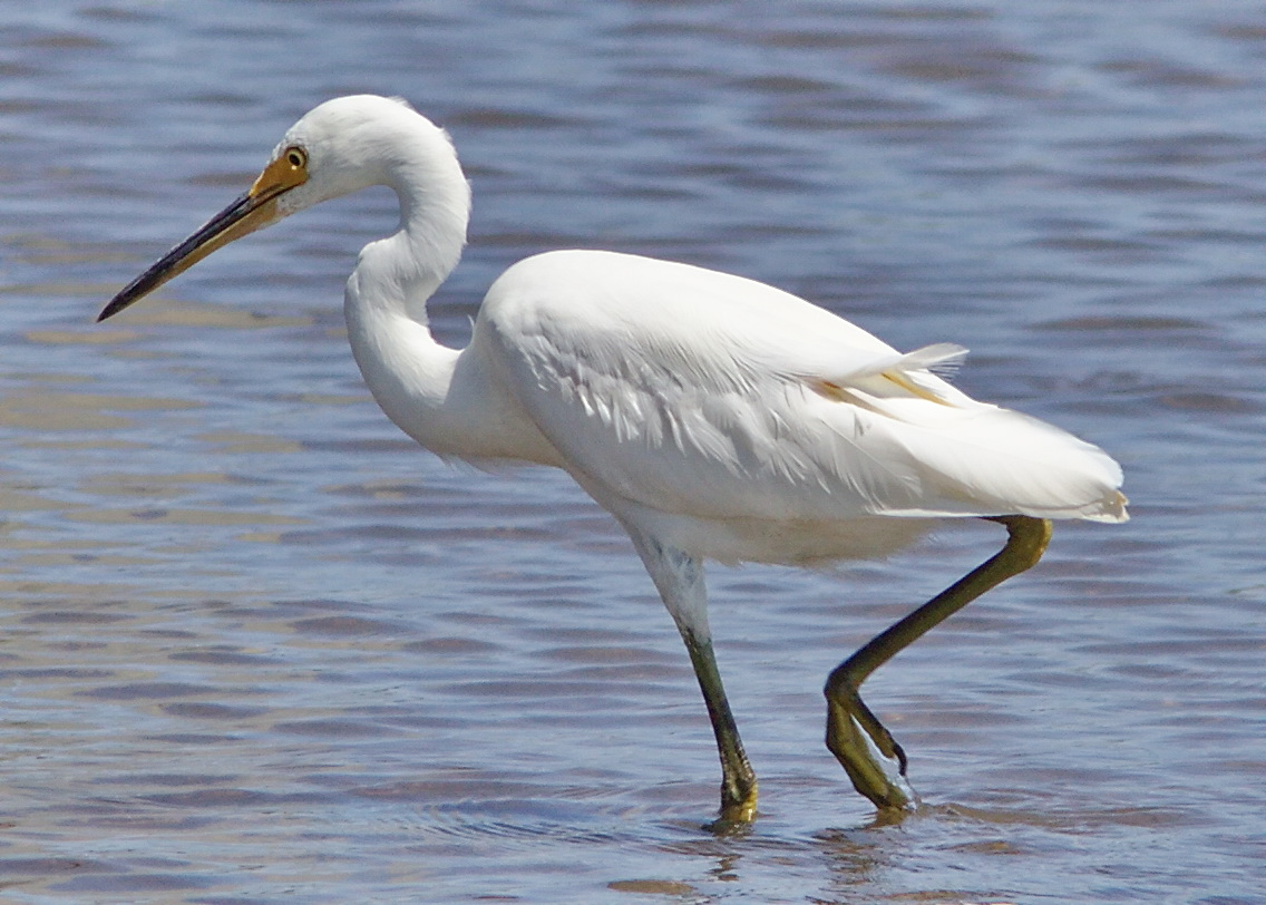 What Is A Large Water Bird  Letters