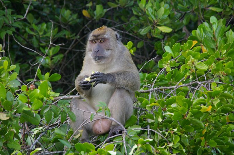 Fichier:Macaque King finishing his apple.jpg